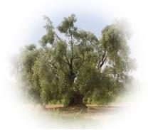 info olive1