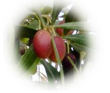 info olive2